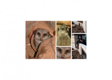 IT'S 'SIMPLES' - EVERYONE LOVES MEERKATS